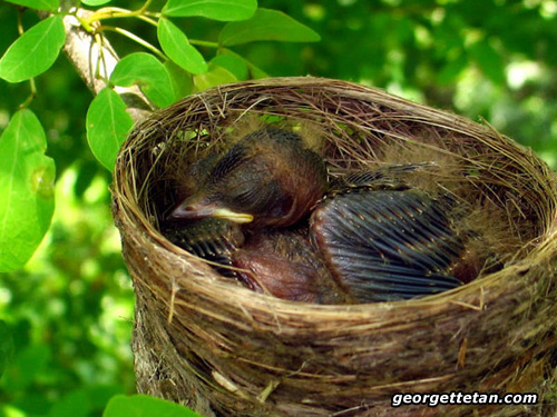 SNORE: A baby Pied Fantail naps in its nest. Fantails find food by flicking their tails up and down to startle flies into flight. (© Georgette Tan, 2007)